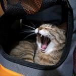猫のにゃつバテをオリンパス「OM-D E-M1 Mark II」で撮る