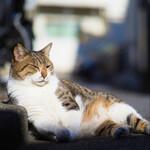 シグマの新型レンズ「56mm F1.4 DC DN」は猫撮り必携レンズ!