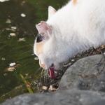 水を飲んだり、狩りモードだったり……京都の池の周りに集まる猫たち