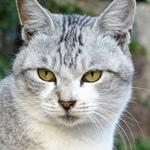 案外希少!? 鯖のような模様の「サバトラ」猫写真を集めてみた