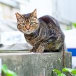 猫写真で見る、「キジトラ」と「キジシロ」の違い