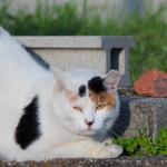 日本猫を代表する柄!? 三毛猫をきれいに撮るコツ