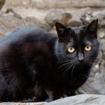春の神社で招き猫と狐とツキノワグマ……的な猫
