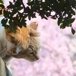 桜満開のお寺で春らしい猫風景