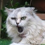 猫のあくびは連続写真で楽しもう! 口全開の瞬間を激写するコツ
