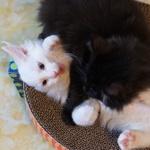ソニー「α6300」で撮った黒子猫と白子猫の猫プロレス