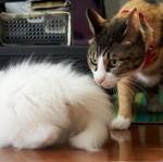 子猫は大丈夫? 先住猫との家庭内縄張り争い