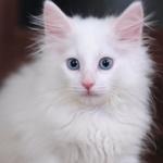 白くてふわふわな子猫と遊びながら……富士フイルム「X-Pro2」で撮る!