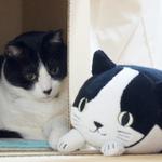 猫宅訪問! いきなり隠れるハチワレ猫の「のえる」くん