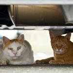 夏の風物詩!? 車の下で猛暑をしのぐ猫たち