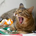 オリンパス「E-M5」などで狙う! 猫のあくびの瞬間