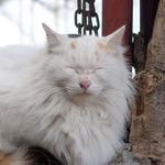 DP2sやStylus 1で撮る、目を細めて気持ちよさそうな猫