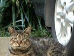 車の下から「ニャ~」 猫のかくれんぼ