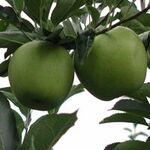 おいしいりんごの見分けかたと王林の話