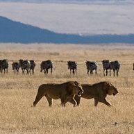 「ライオンがシマウマを食い殺すシーン」のニーズ