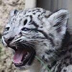 もふもふしたい! Snow Leopardの赤ちゃんを激写