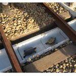 JR西日本、カメの列車事故を防ぐ技術を開発