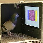 最高99%の正答率、ハトによる乳がんの発見方法が開発される
