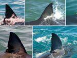 サメの背ビレから画像認識で個体認証