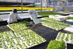 「農業未経験」から「巨大レタス工場」へ、NKアグリの挑戦
