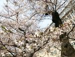 桜の写真、意外と難しいのです