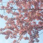 桜がもうすぐ開花!花見スポットの開花状況を『Yahoo!地図』で今すぐチェック