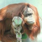仕事が効率良くなる「類人猿分類」チンパンジー、ゴリラ…診断してみよう