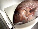 2kgの真鯛を注文! Zoomのビデオ会議で捌き方を教わった