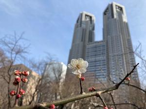 【連載】高層ビルに春が来た!梅の花が咲きました
