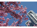 【連載】桜のリレーが始まる!新宿中央公園の河津桜が満開に