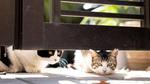 ソニー「α7C」を使って寺社で出会った猫を撮る