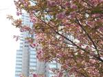【連載】新宿中央公園は八重桜が満開です!