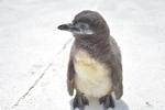 【連載】今日も元気! 3月17日に生まれたケープペンギンのヒナをご紹介