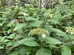 【連載/新宿中央公園】初夏です!アジサイが蕾をつけ始めました