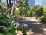 連載:【新宿/花】新宿中央公園にアジサイの花が咲きました!