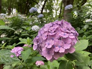 【連載】アジサイロードは今が見ごろ! 梅雨時の散歩は新宿中央公園で!!