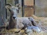 オオツノヒツジの赤ちゃん誕生! 金沢動物園で愛称を募集中、6月30日まで