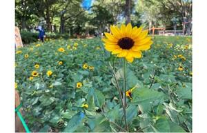 連載:【新宿/ヒマワリ】新宿中央公園に夏が来た!今年はヒマワリ注目‼