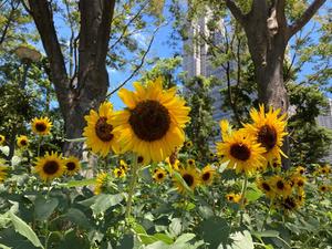 【新宿/中央公園】夏を満喫! ヒマワリのゴッホとビンセントが見ごろに